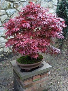 Imagem de um bonsai de acer
