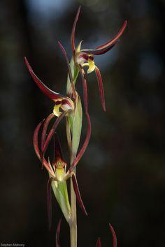 Brown Beak Orchid: Lyperanthus suaveolens