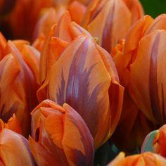 'Prinses Irene' ist eine elgante Tulpe mit einem feinen Duft. Pflanzzeit ist im Herbst - online bestellbar bei www.fluwel.de