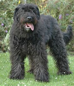 Bouvier des Flanders breed - Gentle, Intelligent, Loyal, Protective, Familial, Rational