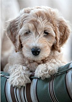 Not sure if a golden doodle or a labradoodle but definitely a doodle.