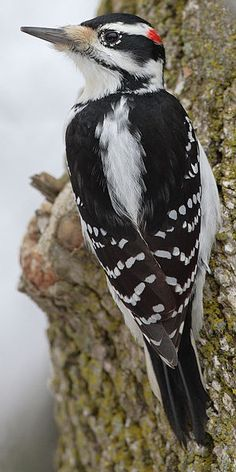 Hairy Woodpecker ( male ) ( Picoides villosus )  similar to the Downy Woodpecker, but the Hairy is larger, at 7-10 inches, and has a much longer bill than the Downy.