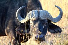 Masai Mara Safari Day Two: Charged by a Buffalo - FreeYourMindTravel