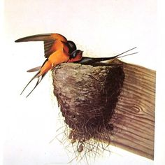 john james audubon barn swallow