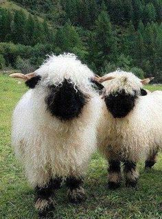 Valais Blacknose Sheep from Switzerland - my dream sheep! Well, one of them. So many sheep, so little time Cute Baby Animals, Farm Animals, Animals And Pets, Funny Animals, Nature Animals, Wild Animals, Beautiful Creatures, Animals Beautiful, Beautiful Cats
