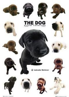 The dog - labrador retriever Poster | Sold at Europosters