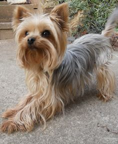 """Yorkshire terrier complete with her full tail. I left the """"butt fan"""" on my baby too!"""