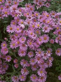 Aster Honeysong Pink