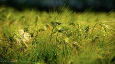 #barley #fieldsofgold #biological