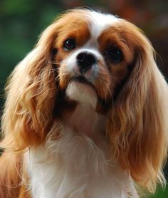Cavalier King Charles Spaniels Dogs Puppy Hound Pups Dog Puppies CKCS Cavies