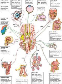 The 12 cranial nerves are:  I - Olfactory nerve  II - Optic nerve  III - Oculomotor nerve  IV - Trochlear nerve/pathic nerve  V - Trigemin...