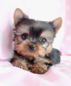 Browse tiny Teacup, Micro Teacup and Toy Yorkshire Terrier puppies for sale. Browse to find the tiniest and cutest Yorkie puppies for sale in South Florida area Cute Teacup Puppies, Teacup Yorkie, Cute Dogs And Puppies, Baby Puppies, Teacup Dogs, Cutest Dogs, Doggies, Cutest Puppy, Yorkie Puppy For Sale
