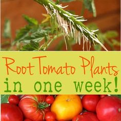 Growing Tomatoes How to root (propagate) tomato cuttings in just one week! Now you can multiply lots of tomato plants quickly and for free! - How to root tomato cuttings in just one week! Now you can multiply lots of tomato plants quickly and for free!