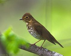 Swainson's Thrush (photo by Jack Bartholmai)