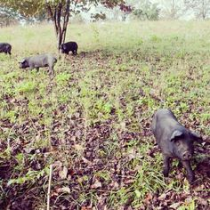 Blackberry Farm: Pigs playing in the fall leaves!