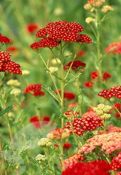 Yarrow... comes in red, gold, pink, pale yellow, and white. We have the first three at the Garden Center now...
