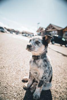 (Blue Heeler and Border Collie mix) Cute Puppies, Dogs And Puppies, Collie Puppies, Australian Shepherd Blue Heeler, Austrailian Cattle Dog, Puppy Mix, Cute Baby Animals, Animals Dog, Jolie Photo