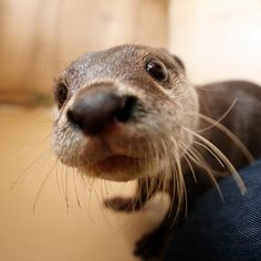 Curious Otter Gets Really Close to the Camera.
