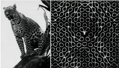 Any pattern or shape observed in nature, even though governed by genetics, is most likely produced by an unknown mechanism. The Chladni plates (on the right) show a similar pattern to the one of a leopard. The most used model for this type of systems is the reaction-diffusion system.