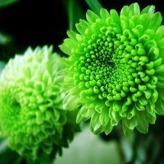 многолетние хризантемы на фото January Wedding, Bing Images, Wedding Planner, Green, Flowers, Plants, Selfish, Wedding Ideas