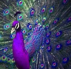 Cute Birds, Pretty Birds, Beautiful Birds, Animals Beautiful, Cute Animals, Peacock Pictures, Bird Pictures, Pictures To Paint, Painting Pictures