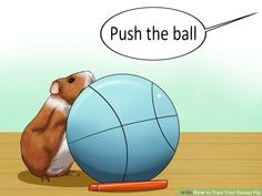 How to Train Your Guinea Pig: 6 Steps (with Pictures) - wikiHow