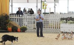 Each year sheep dogs from all over New England compete for the first place prize at The Big E.