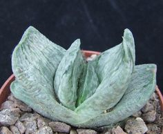 Gasteria Nigricans Variegated choice 5.6cm collectors succulent / cactus | eBay
