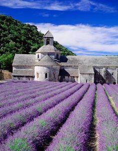 Lavender fields Provence France.   Abbaye Notre Dame du Sénanque.