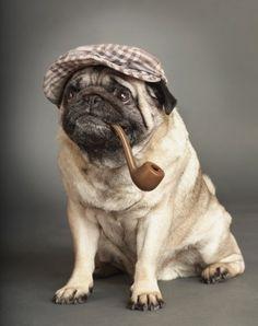 "(""Elementary, Dear Watson."" Sherlock Pug) #NationalDressUpYourPetDay"