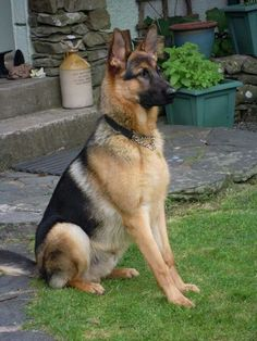 Wicked Training Your German Shepherd Dog Ideas. Mind Blowing Training Your German Shepherd Dog Ideas. Healthiest Dog Breeds, Best Dog Breeds, Berger Malinois, German Shepherd Puppies, German Shepherds, Cool Dog Houses, Best Dog Toys, Schaefer, Working Dogs