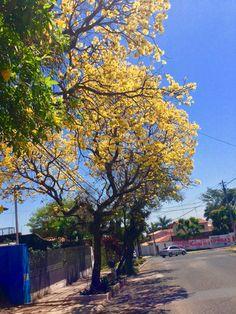 Lapachos amarillos Asunción-Paraguay