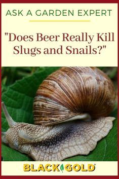 """Question: """"Does beer really kill slugs and snails and how? Also, what's the best way to use it if it does?""""  Answer: Yes, and here's how... Slugs In Garden, Snails In Garden, Garden Pests, Slug Control, Pest Control, How To Kill Slugs, Organic Gardening, Gardening Tips, What To Use"""