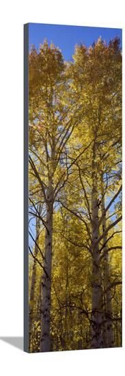 Low Angle View of Aspen Trees, Telluride, San Miguel County, Colorado, USA Photographic Print at AllPosters.com