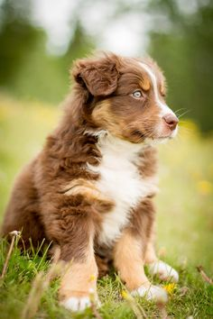 Tri Red Australian shepherd puppy with blue eyes!