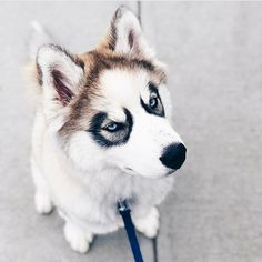 Cute husky puppy Cute husky puppy Life with a Siberian husky Cute Husky Puppies, Husky Puppy, Dogs And Puppies, Doggies, Beautiful Dogs, Animals Beautiful, I Love Dogs, Cute Dogs, Animals And Pets