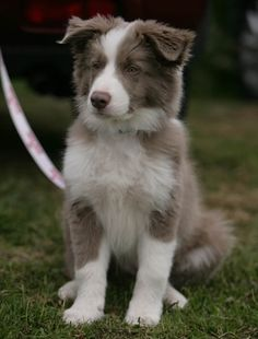 Lilac Border Collie - what an awesome colour!
