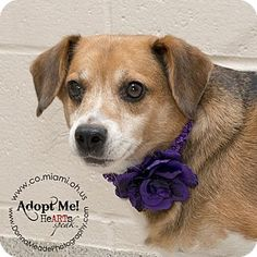 URGENT!  I am at a kill shelter in Troy, OH - Beagle. Meet Stella, a dog for adoption. http://www.adoptapet.com/pet/11642727-troy-ohio-beagle