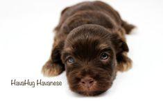 The Most Beautiful, Newborn Chocolate Havanese Puppies   <3 HavaHug Havanese <3   www.havahughavanese.com