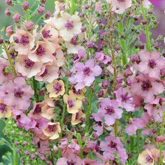 Verbascum x Hybrida 'Southern Charm' Soft pastel spires of flowers, which grow up from the low rosette of leaves, making an ideal plant for garden borders. Cottage Garden Borders, Cottage Garden Plants, Pink Garden, Cottage Gardens, Flower Garden Borders, Backyard Cottage, Pastel Flowers, Summer Flowers, Beautiful Flowers Garden