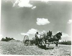 Haying with a horse-drawn rake