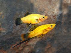 Aquarium Ideas, Aquarium Fish, Swordtail Fish, Malawi Cichlids, Just Fresh, Guppy, Freshwater Aquarium, Tropical Fish, Fresh Water