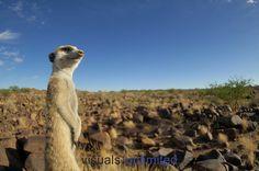 Suricate or Slender-tailed Meerkat standing guard (Suricata suricatta), Namibia.