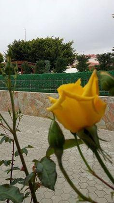 Kapımın önünde Galatasaraylı oluşumu tescil eden diğer Sarmaşık gülüm ise güzel sarı renkli gülleriyle yanındaki kırmızı sarmaşık gülle bitişikken iyi sezon geçiremeyen Galatasaraylıları teselli eder gibi duruyor abimin resminde...