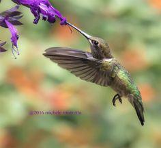 Female Ruby Throat Hummingbird Photograph by MicheleMPhotography