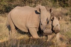 Help for African rhino poaching survivors