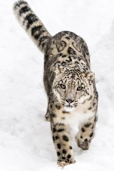 Snow Leopard on the Prowl IX - Snow Leopard Walking in Snow