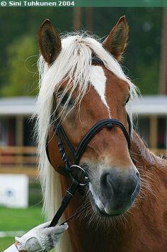 Finnhorse stallion Tosi-Romeo Palomino, Pretty Horses, Beautiful Horses, Equestrian, Creatures, Donkeys, Heart, Horses, Sweetie Belle