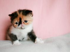What Nimue looked like as a kitten:)