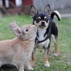 chihuahua  & bunny